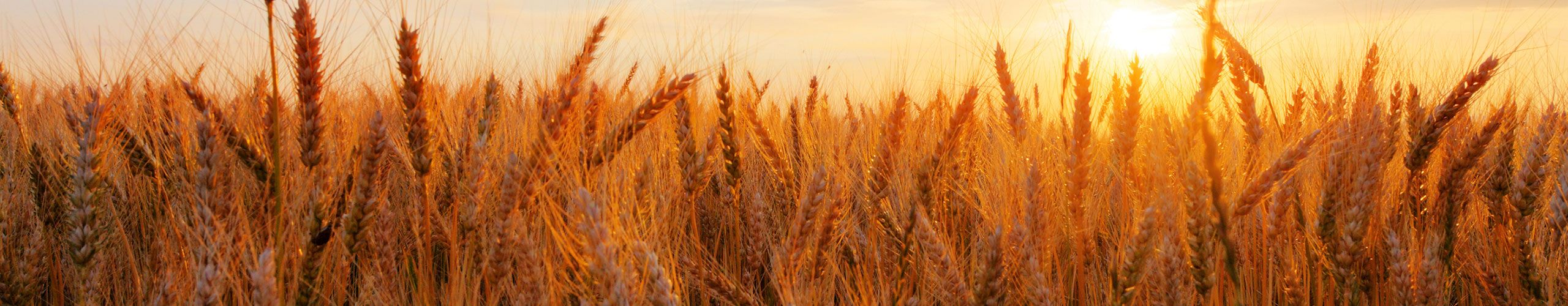 bigstock-Wheat-Field-Over-Sunset-47579836